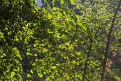 El abedul verde sale del fondo natural Foto de archivo libre de regalías