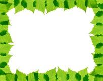 El abedul verde sale del marco Fotografía de archivo libre de regalías