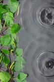 El abedul verde se va en el agua en la lluvia Fotos de archivo
