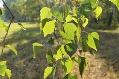 El abedul verde se va en la rama en el primero plano en día soleado del verano Imagen de archivo