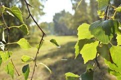 El abedul verde se va en la rama en el primero plano en día soleado del verano Imágenes de archivo libres de regalías