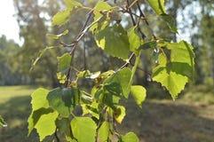 El abedul verde se va en la rama en el primero plano en día soleado del verano Fotografía de archivo