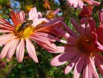 El abejón Honey Bee en crisantemo de la margarita del rosa de color salmón florece Imágenes de archivo libres de regalías