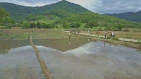 El abejón se mueve a la gente en el camino y a caminar en campos del arroz metrajes