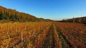 El abejón vuela sobre los campos del otoño de uvas almacen de video