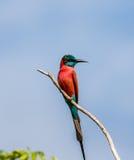 El Abeja-comedor del carmín se sienta en una rama contra un cielo azul África uganda Fotografía de archivo libre de regalías