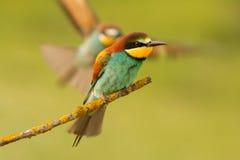 el Abeja-comedor en una rama y el socio viene vuelo Fotografía de archivo