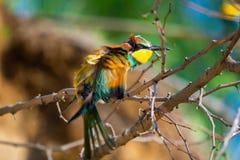 El Abeja-comedor europeo, apiaster del Merops es que se sienta y que muestra apagado en una rama agradable en el viento, durante  Imagenes de archivo