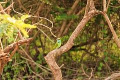 el Abeja-comedor o los orientalis del Merops se sienta en rama Foto de archivo libre de regalías