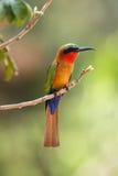 El abeja-comedor rojo-throated que se sienta en la rama con el fondo verde Imagen de archivo libre de regalías