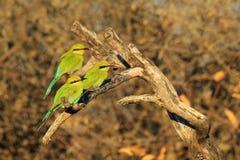 el Abeja-comedor, trago ató - fondo salvaje africano del pájaro - el trío colorido de amigos Fotos de archivo