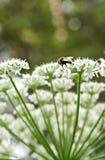 El abejorro Fotos de archivo