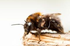 El abejorro Fotos de archivo libres de regalías