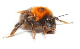 El abejorro Imagen de archivo