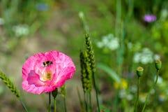 El abejorro cargó con polen en sus cestas del polen Foto de archivo libre de regalías