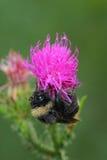 El abejorro cubrió el rocío de la mañana Fotos de archivo libres de regalías