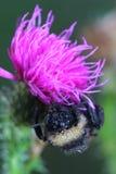 El abejorro cubrió el rocío de la mañana Fotografía de archivo