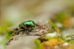 El abejorro de Rose resolvió la hormiga de madera roja en un árbol caido y ellos caref Fotos de archivo