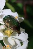 El abejorro de Rose se está sentando en un manzano floreciente Imagen de archivo libre de regalías