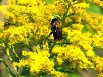 El abejorro de Thornhill en vara de oro florece 2017 Imagen de archivo libre de regalías