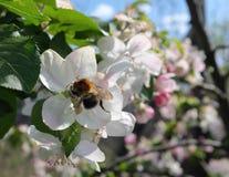 El abejorro del árbol poliniza las flores del flor de la manzana Imágenes de archivo libres de regalías