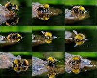El abejorro del bañista Imagenes de archivo