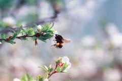 El abejorro del insecto recoge el néctar de rama de la flor de cerezo adentro Imagen de archivo