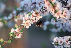 El abejorro del insecto recoge el néctar de rama de la flor de cerezo en m Foto de archivo libre de regalías