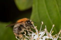 El abejorro del polen está lamiendo por completo el néctar Fotos de archivo