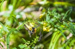 El abejorro del trabajador recoge el néctar de wildflower Foto de archivo libre de regalías