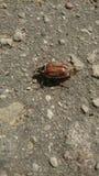 El abejorro en el asfalto Foto de archivo