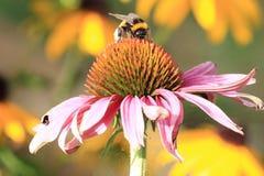 El abejorro en la flor Imagen de archivo