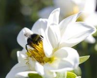 El abejorro en la flor blanca recoge el néctar Imagenes de archivo