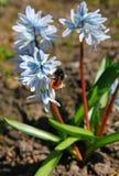 El abejorro en la primera primavera florece como fondo soleado de la primavera Imágenes de archivo libres de regalías