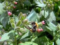 El abejorro en las flores de la borraja se cierra para arriba Imágenes de archivo libres de regalías