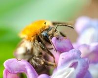 El abejorro en las flores del jacinto se cierra para arriba Fotografía de archivo