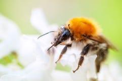 El abejorro en las flores del jacinto se cierra para arriba Imágenes de archivo libres de regalías