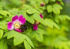 El abejorro en salvaje subió Flor rosada de Rosa Rubrifolia Imagenes de archivo