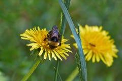 El abejorro en un diente de león florece Imagen de archivo
