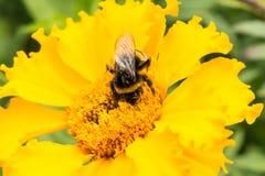 El abejorro en una flor anaranjada recoge el polen, foco selectivo Imágenes de archivo libres de regalías