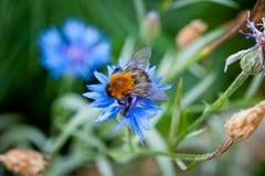El abejorro en una flor azul tiró el primer contra un fondo de la hierba verde Imagen de archivo libre de regalías