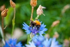 El abejorro en una flor azul tiró el primer contra un fondo de la hierba verde Foto de archivo libre de regalías
