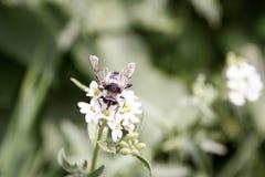 El abejorro en una flor blanca, recoge Foto de archivo