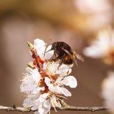 El abejorro en una flor del ciruelo blanco florece Fotos de archivo