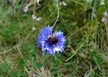 El abejorro en una flor del maíz Imagen de archivo
