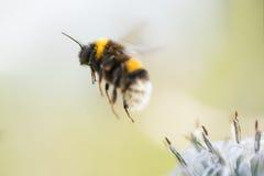 El abejorro en vuelo, saca de una flor que recoge la miel, fondo Imágenes de archivo libres de regalías