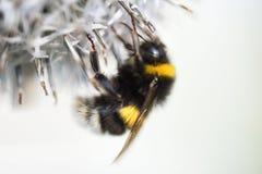 El abejorro en vuelo, saca de una flor que recoge la miel, fondo Fotos de archivo libres de regalías