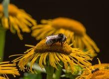 El abejorro está en una flor del helenio Imagen de archivo libre de regalías