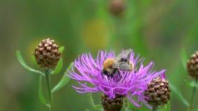 El abejorro está en una flor marrón de la centaurea, cámara lenta almacen de video