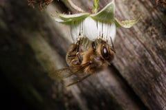El abejorro está recolectando el polen de una flor de la frambuesa Animales en fauna Imagen de archivo libre de regalías